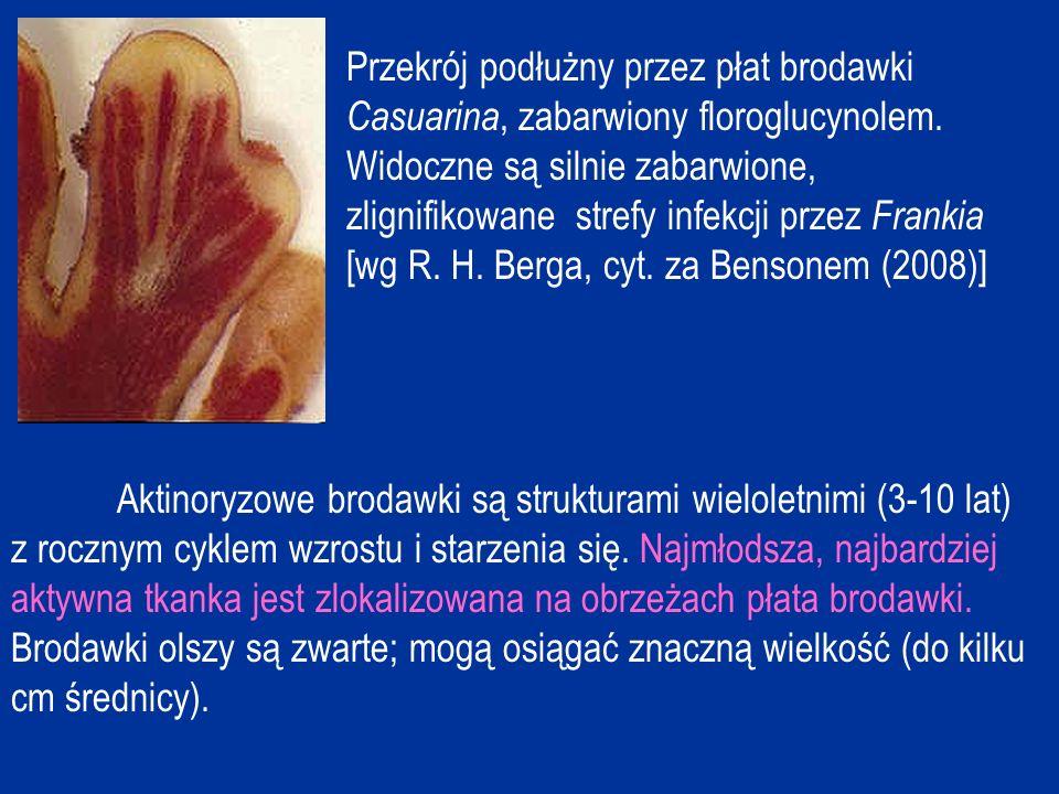 Przekrój podłużny przez płat brodawki Casuarina, zabarwiony floroglucynolem. Widoczne są silnie zabarwione, zlignifikowane strefy infekcji przez Frankia [wg R. H. Berga, cyt. za Bensonem (2008)]
